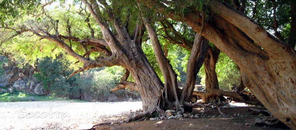 Arbori de tamaie Socotra