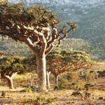 Pădurea de arbori de tămaie,  Socotra, Yemen